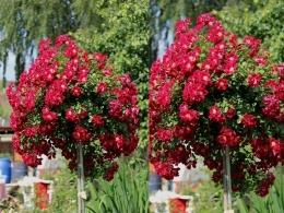 Купить штамбовые розы почтой оригинальный и дорогой подарок женщине