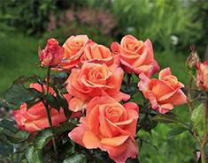 Купить саженцы розы дешево по интернету розы 1 метр купить в минске